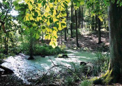 Grumsin-buchenwald-4